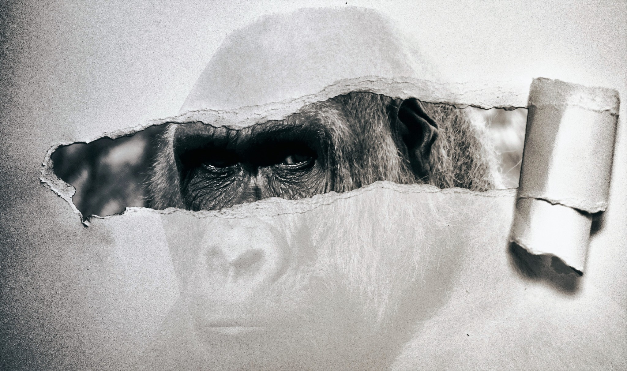 gorilla-2654323_PX - kopie