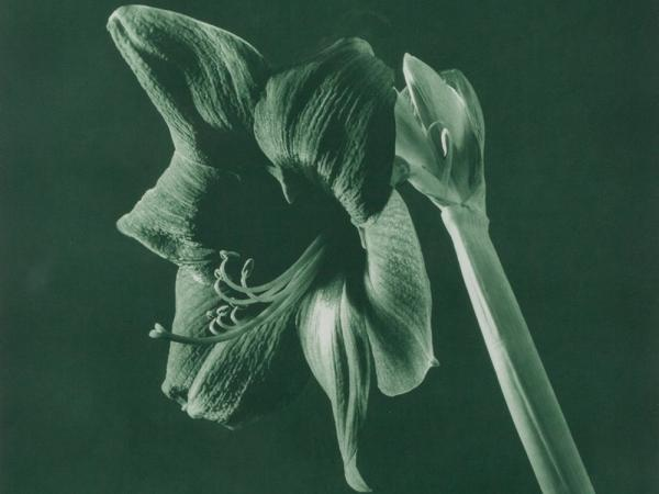 Robert Mapplethorpe, From Flowers, 1987