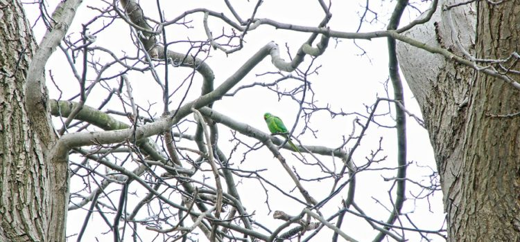 Green parrots of istanbul