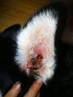 Oddie, mi perro husky siberiano macho, tiene un problema de salud