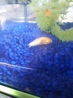 Dorado, mi pez carpa común macho, tiene pérdida de piel