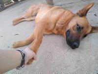 Tengo dudas sobre cómo alimentar a Laika, mi perro pastor alemán hembra