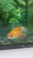 Goldfish, mi pez desconocida hembra, tiene un problema dermatológico y salud