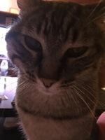 Gordo, mi gato europeo de pelo corto macho, tiene heridas