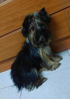 Kiara, mi perro yorkshire terrier hembra, tiene orina demasiado frecuentemente