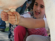 La mungitura della Mucca Margherita alla Fiera del Taleggio di Ballabio 2013