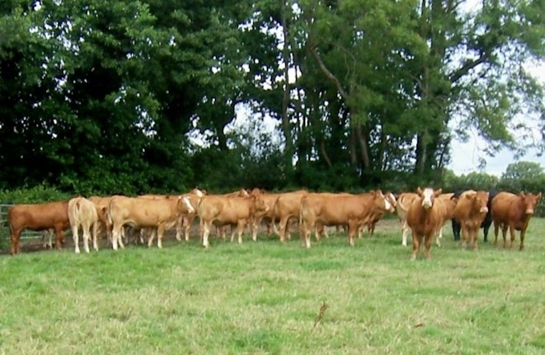 11 Byre  Cattle