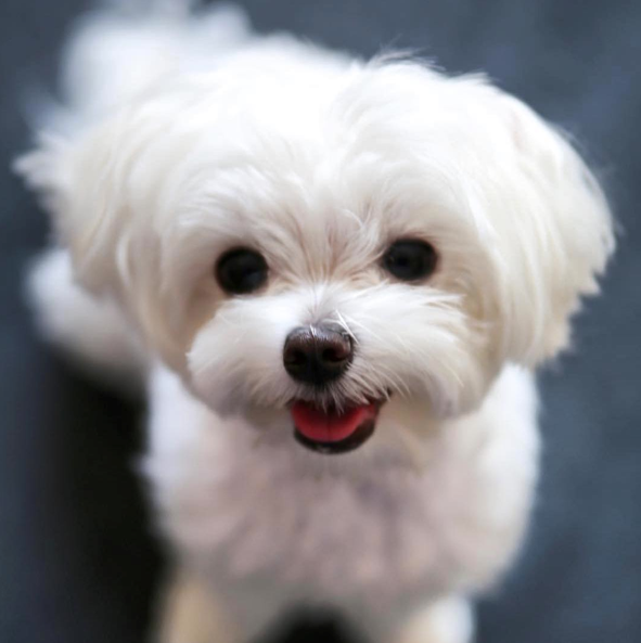Of The Most Popular And Completely Adorable Dog Miin The World
