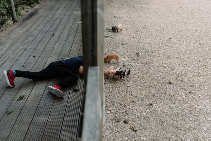 A small boy is looking under a fence to try and see some piglets at a South Farm wedding venue near Cambridge