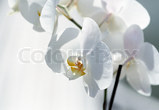Orchide