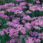 Achillea millefolium 'Lilac Beauty' - Yarrow