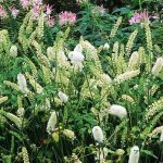 Actaea simplex 'White Pearl' with Cleome syn. Cimicifuga