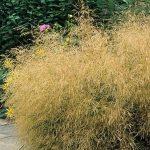 Phlox paniculata 'Eva Cullum' behind Deschampsia cespitosa 'Goldtau'