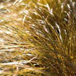 Carex comans Bronze form - Sedge