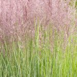 Calamagrostis x acutiflora 'Overdam' flowering in July - Summer