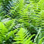 Dryopteris filix-mas in Spring, Fresh green foliage of native male fern