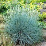 Festuca glauca 'Elijah's Blue' , blue fescue, an ornamental grass which flowers in June.