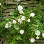 Rosa 'Felicite Perpetue'