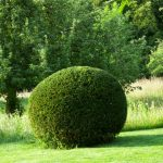 Taxus baccata - Yew topiary and fruit trees