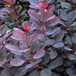 Cotinus Coggygria  'Royal Purple' AGM