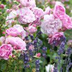 Rosa 'Harlow Carr' with Lavandula angustifolia 'Hidcote' - David Austin Roses