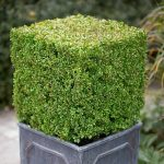 Buxus topiary cube in a faux lead square planter