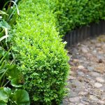 Low clipped Buxus - Box hedge