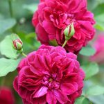 Rosa' Darcy Bussell'