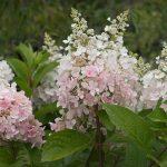 Hydrangea 'Pinky Winky'