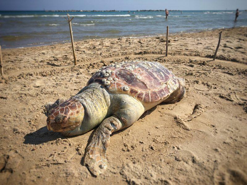 Due carcasse di tartaruga rinvenute sul litorale nord