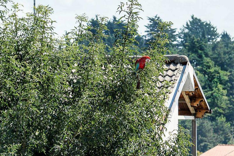 Smarrito pappagallo, si aggira dalle parti del Centro del Molise (FOTO)