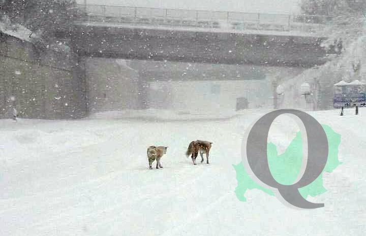 A Campobasso arrivano i lupi in città (FOTO – SEGNALAZIONE)