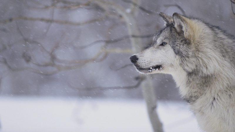 Riccia: avvistati lupi in varie contrade dell'agro
