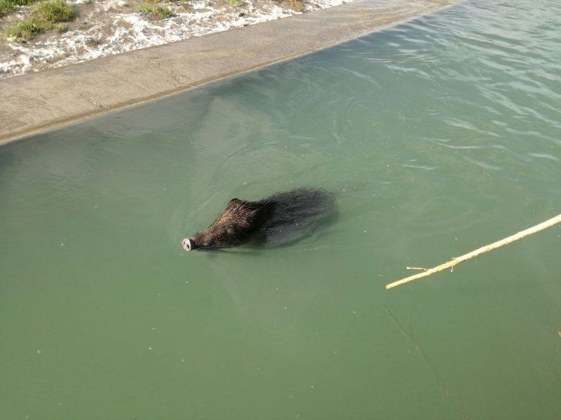 Cinghiale intrappolato nel canale, lo salvano i Vigili del Fuoco (SEGNALAZIONE)