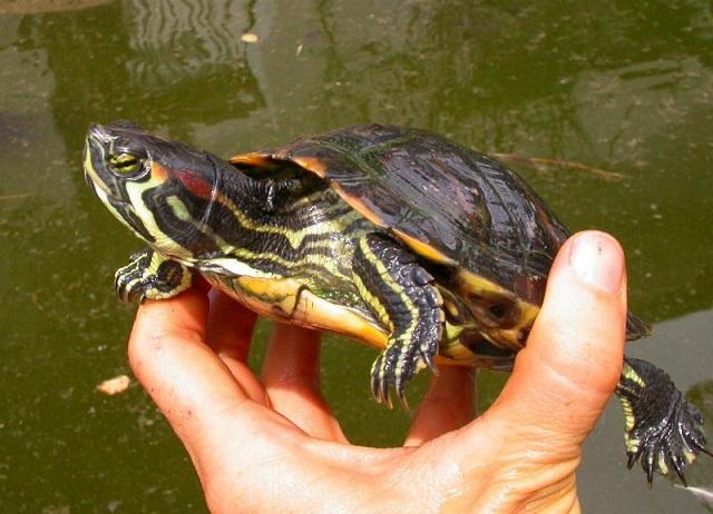Carabinieri Forestali salvano tartaruga di specie protetta