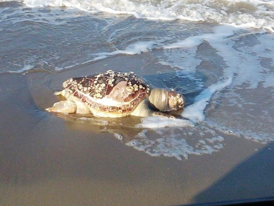 Ennesima tartaruga spiaggiata a Campomarino