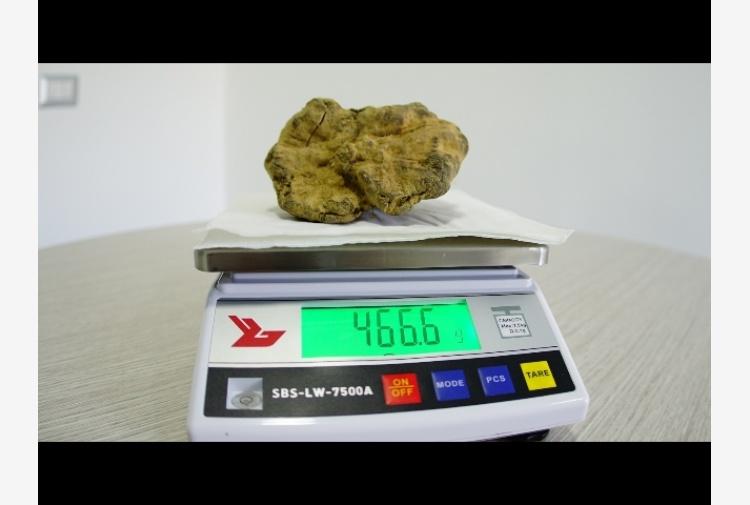 Stagione ricca per il tartufo molisano. Scovato bianco da record di 466 grammi