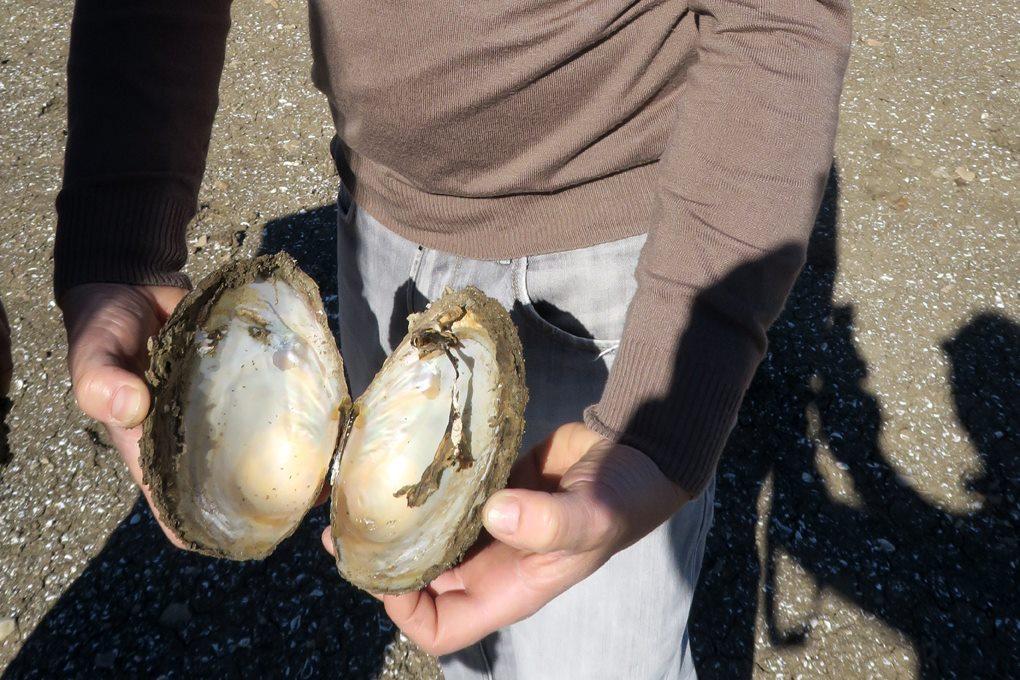Conchiglie di molluschi giganti nel lago di Guardialfiera