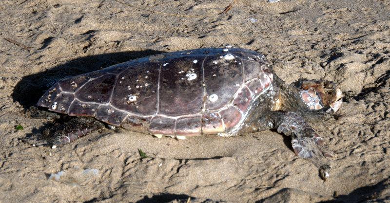 Ritrovamento caretta caretta spiaggiata: continua strage tartarughe marine