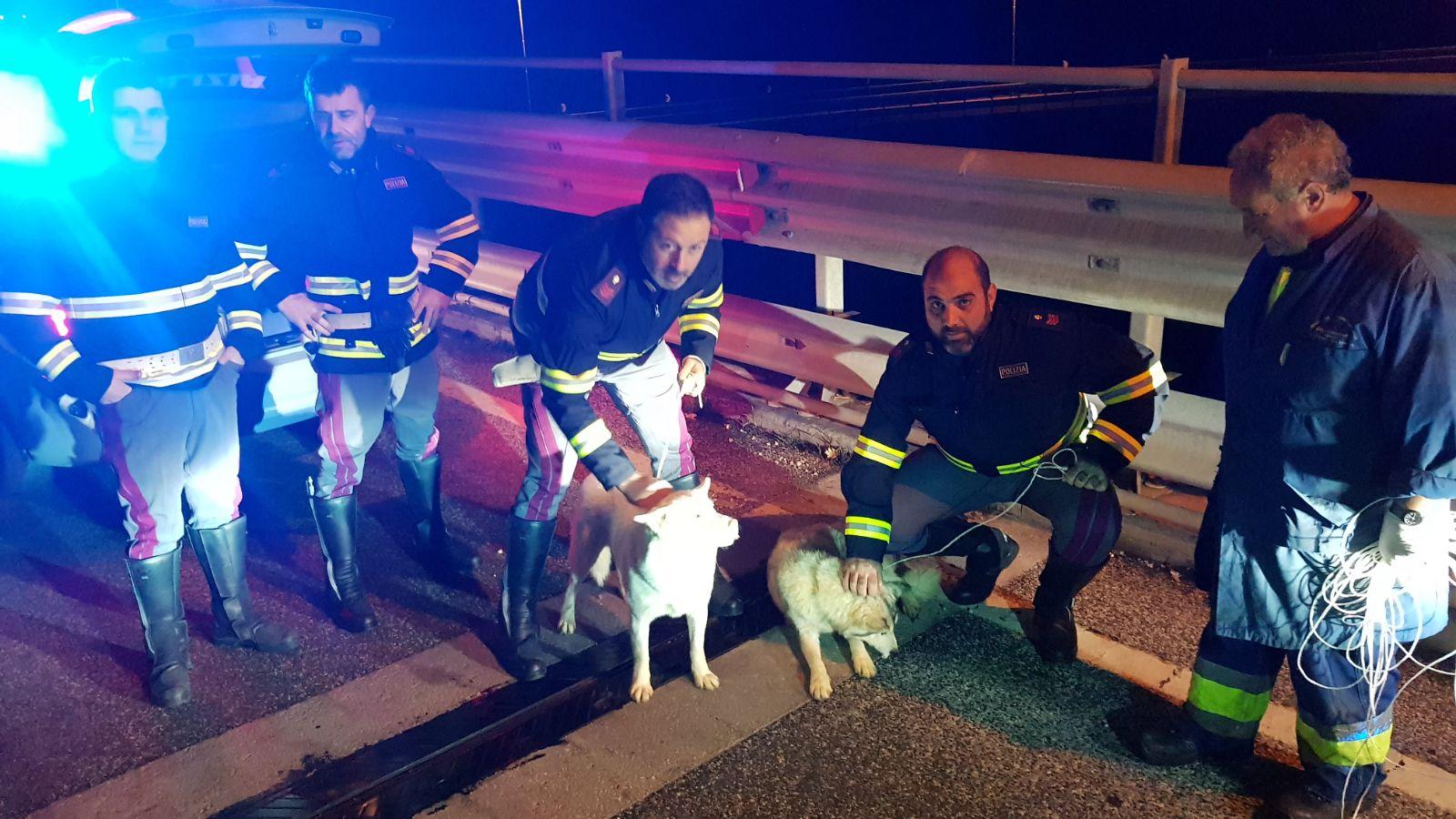 Impauriti sulla statale, due Husky salvati dalla Stradale