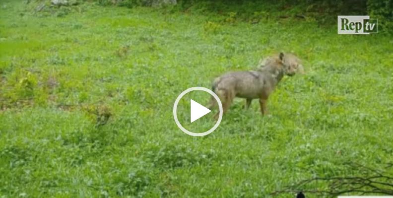 Matese, le straordinarie immagini di una coppia di lupi che gioca (VIDEO)