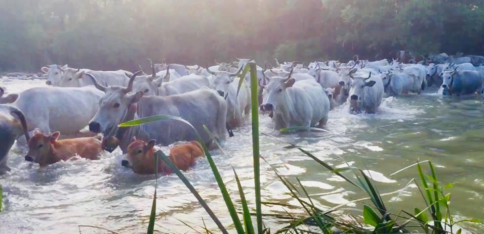 Transumanza dalla Puglia al Molise, 300 mucche hanno sfilato lungo i tratturi e i centri abitati