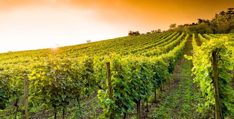 Nuovi impianti viticoli, pubblicato l'elenco delle 184 aziende beneficiarie