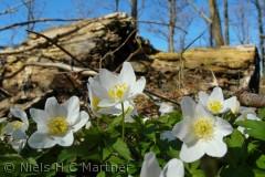 Blomster i Skovbunden, fotograferet i Tybrindskoven i April måned.