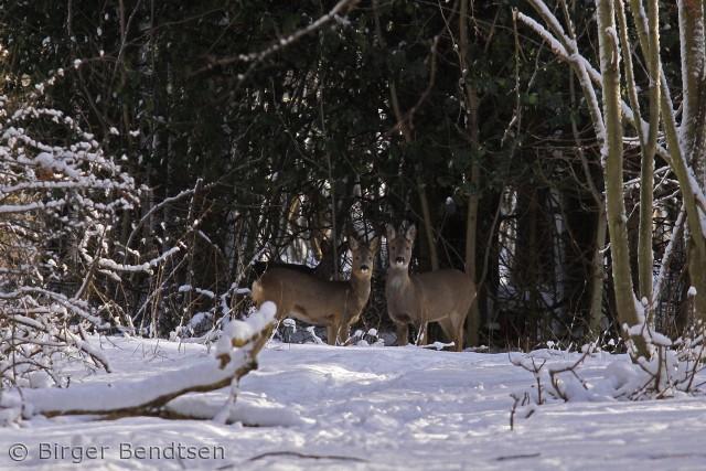 Billedet er taget i Lynggårdsskoven ved Pedersker. Et besøg vær. Birger Bendtsen bjbendtsen@gmail.com
