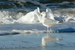 Vesterhavet er også Mågernes paradis.