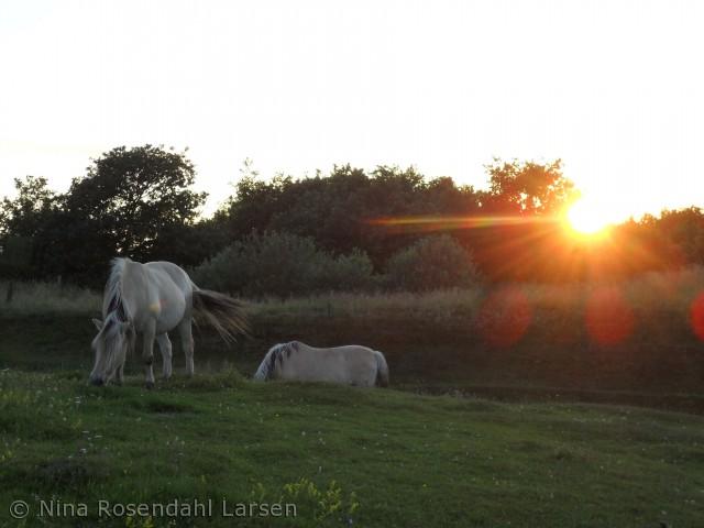Fine heste i Gudenådalen vest for Tørring