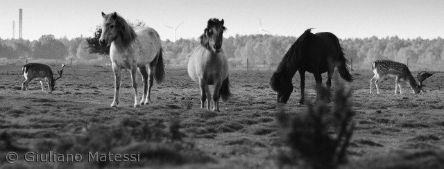 Vilddyr og husdyr er sammen om at beholde engene åben og fri fra skoven her på Vestamager, hvor by og natur grænser op til hindanden.