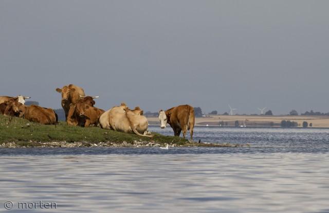 Køerne daser i sommervarmen på en lille pynt i Roskilde inderfjord