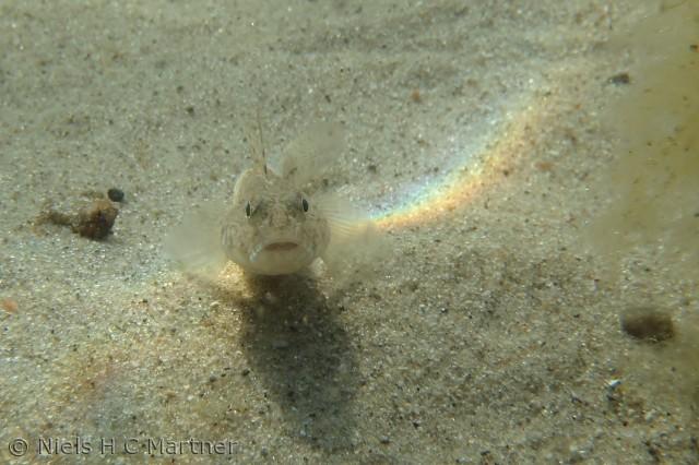 En lille nysgerrig fisk, Fotograferet ved Føns strand i juli 2012.